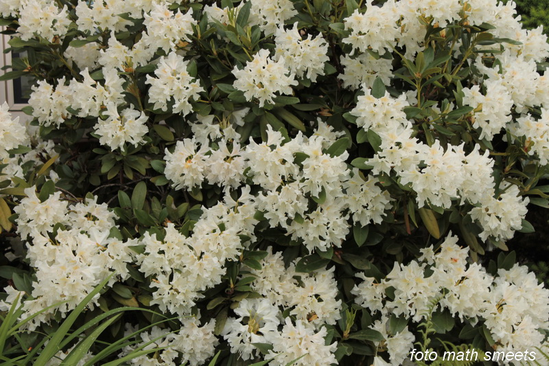 rhododendron (6)