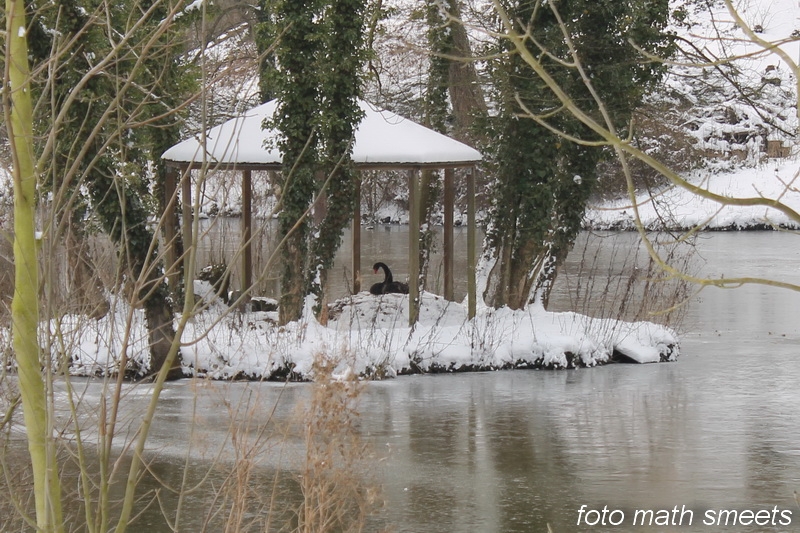 de zwarte zwaan zit nu ongeveer 11 dagen te broeden, hopelijk lukt het haar nu de jongen wel groot te brengen