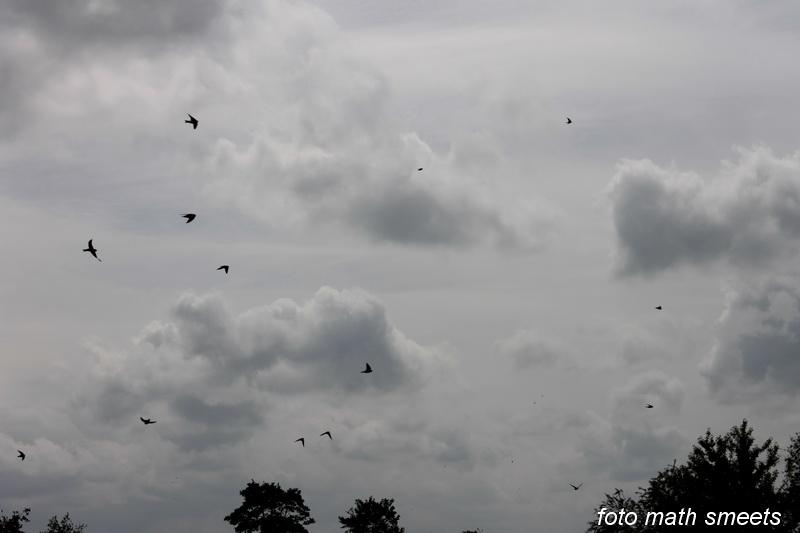 oeverzwaluw (2)