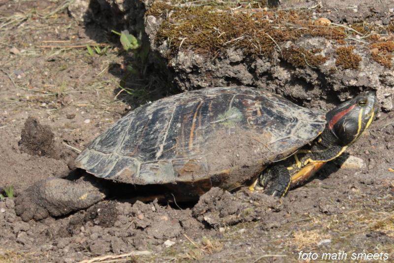 De schildpad dankt zijn naam aan de kenmerkende rode vlek op iedere zijkant van de kop. De eieren van de roodwangschildpad zijn wit van kleur en ovaal van vorm, en hebben een dunne en lederachtige schaal. De eieren lijken enigszins op die van de inheemse ringslang (Natrix natrix). Het ei is wit van kleur en langwerpig van vorm, ongeveer 30 tot 45 millimeter lang en 20 tot 25 mm breed.[5] Na ongeveer anderhalve maand komen ze uit waarna de kleine schildpadden zich uitgraven en hun eigen weg gaan, ze hebben dan een schildlengte van ongeveer 2,5 tot 3,5 centimeter. Het eerste wat ze doen is het water opzoeken.