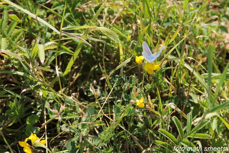 het icarusblauwtje
