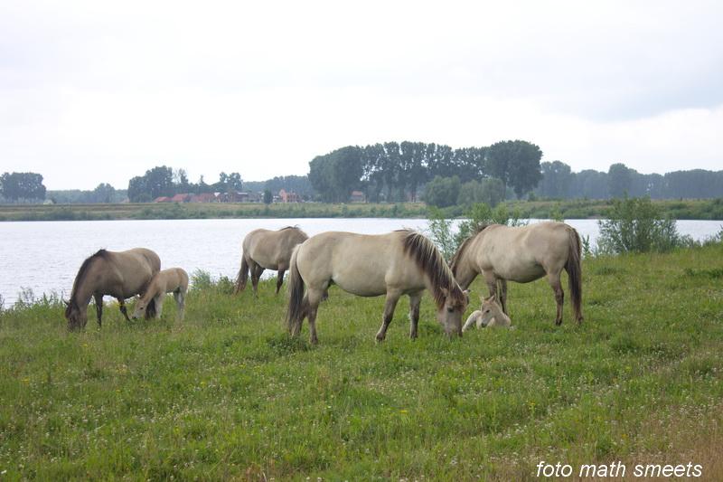 kudde Konik paarden met twee veulens