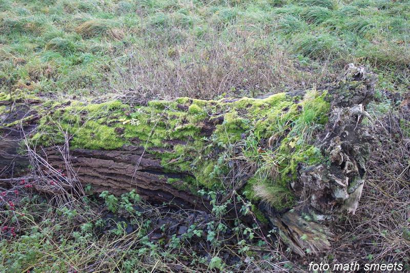 mosgroei op een dode boom